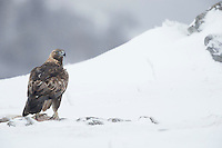 Golden Eagle, Aquila chrysaetos, adult male in snow, Bulgaria