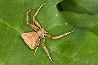 Krabbenspinne, Weibchen, Pistius truncatus, crab spider, Krabbenspinnen, Thomisidae, crab spiders