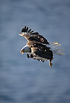 A bald eagle in flight, Unalaska Island, Alaska