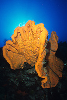 Orange Elephant Ear Sponge (Agelas clathrodes).Cane Bay.ST Croix, VI
