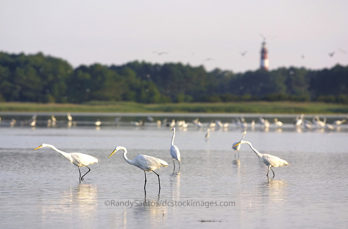 Chincoteague Assateague Island Chesapeake Bay Eastern