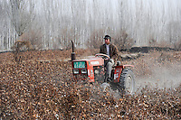 Asien CHINA Provinz Xinjiang Kashgar , uigurischer Bauer reisst Baumwollpflanzen nach Ernte mit Traktor aus dem Boden / CHINA province Xinjing Kashgar , uyghur farmer with tractor removes cotton plants after harvest in farm