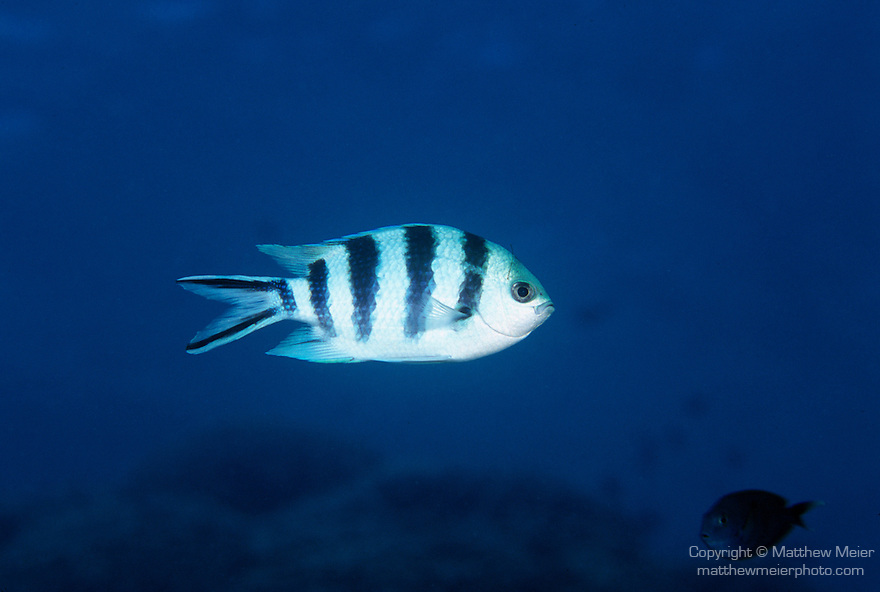 Moorea, French Polynesia; Scissortail Sergeant (Abudefduf sexfasciatus), usually form groups, found in coastal and offshore reefs to 15 meters, in the Indo-Pacific Ocean region, Red Sea and E. Africa to Rapa Island in S. French Polynesia. S.W. Japan to Australia, to 15 cm , Copyright © Matthew Meier, matthewmeierphoto.com All Rights Reserved