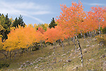 fall, color, autumn, aspen, Populus tremuloides, Bierstadt Moraine, morning, trees, forest, scenic, Rocky Mountain National Park, Colorado, USA