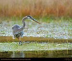 Great Blue Heron Hunting, Obsidian Creek, Yellowstone National Park, Wyoming