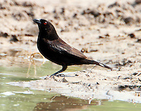 Female bronzed cowbird