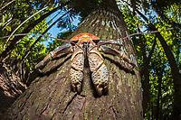 coconut crab, robber crab, or palm thief, Birgus latro, climbing on tree, Christmas Island, Australia