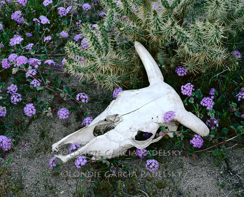 Cow skull and spring flowers at Mojave Desert, California