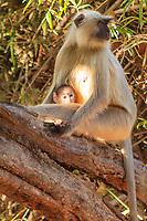 Asia,India,Madhya Pradesh,Bandhavgarh National Park,Black-faced monkey (aka Indian Langur or Gray Langur) (Semnopithecus entellus)
