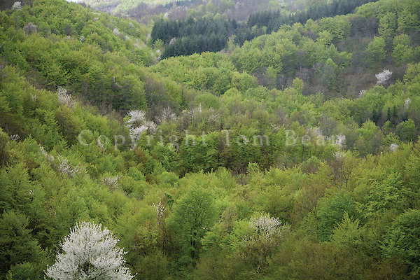 High Mountain Forest of deciduous and evergreen trees grows  in the Central Apennines, in National Park of the Casentini Forest, near Badia Prataglia, Tuscany, Italy, AGPix_1886