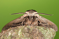 Ligusterschwärmer, Liguster-Schwärmer, Portrait, Porträt, Sphinx ligustri, privet hawkmoth, Privet Hawk-moth, Privet Hawk Moth, Schwärmer, Sphingidae, hawkmoths, sphinx moths