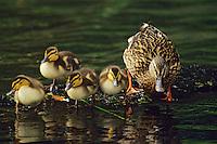 Mallard duck (Anas platyrhynchos) hen with young.  Spring.  Western U.S.