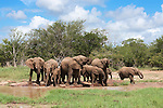 Elephant herd, Kruger National Park, South Africa