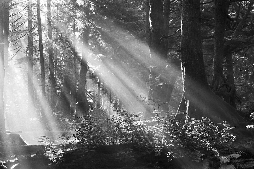 """""""Good Day Sunshine""""<br /> Olympic National Park, Washington<br />  2003<br /> <br /> Sunbeams were accentuated through the morning fog at our camp near La Push, Washington.  The dense evergreen forest offered little openings in its canopy, but the early morning sun found the opportunity to shine onto the trees and forest undergrowth.  As the morning fog was beginning to clear, the beams angled through the moist air and created a beacon into the woods. Moss-covered branches, saplings, and lacy ferns basked in the spotlight.  The sunbeams promised a start to a beautiful day and reminded us of the Beatles hit, """"Good Day Sunshine."""""""