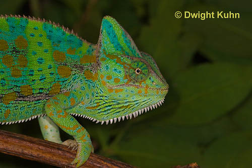 CH51-582z Female Veiled Chameleon in display color, Chamaeleo calyptratus