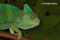 CH51-582z Female Veiled Chameleon in display color, Chamaeleo calyptratus