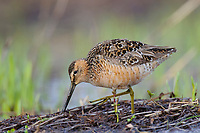 Foraging adult Long-billed Dowitcher (Limnodromus scolopaceus) in breeding plumage. Seward Peninsula, Alaska. May.