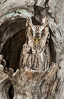 577970036 a wild eastern screech-owl otis asio stares out from its perch in a dead mesquite tree in the lower rio grande valley of south texas united states