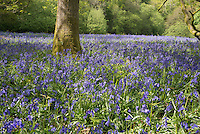 Bluebells in a wood at Brock Bottoms , Brock Valley, near Claughton, Lancashire.