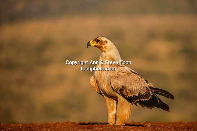 Tawny eagle (Aquila rapax), Zimanga private game reserve, KwaZulu-Natal, South Africa, May 2017