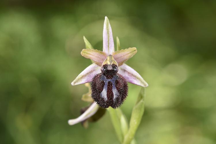 Ophrys sphegodes subsp sipontensis - Gargano Peninsula, Italy