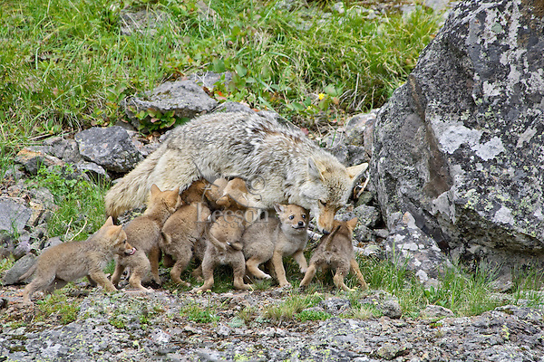 Wild Coyote (Canis latrans)--mother nursing pups.  Western U.S., June.