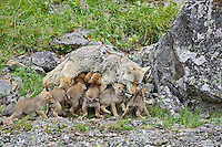 Wild Coyote (Canis latrans)--mother nursing pups.  Western U.S., June.