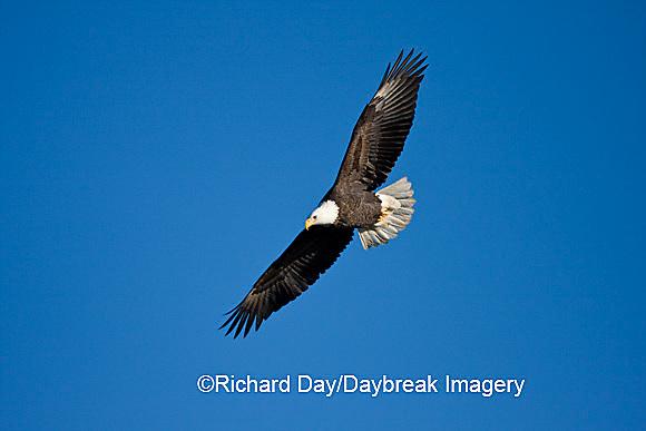 00807-035.02 Bald Eagle (Haliaeetus leucocephalus) in flight over Mississippi River, Alton, IL