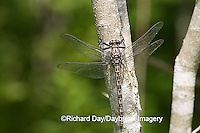 06340-002.13 Gray Petaltail (Tachopteryx thoreyi) perched on tree, Ripley Co.  MO