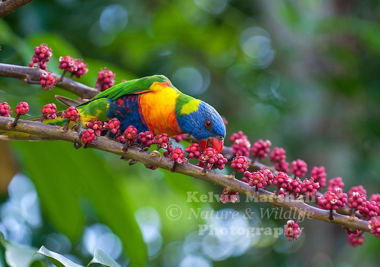 Rainbow Lorikeet  (Trichoglossus haematodus) ... feeding on the fruit and flowers of Umbrella Tree (Schefflera actinophylla) - Cairns (Far - North Queensland.