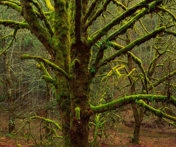 Moss-covered maple trees, near Vernonia, Oregon  1993