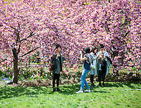 Visitors to Washington Square Park in New York City enjoy the blooming cherry trees and the spring weather on Thursday, May 1, 2014.  Temperatures are expected to rise into the 70's today after more than 24 hours of rain which dumped 4 inches in Central Park.  (© Richard B. Levine)