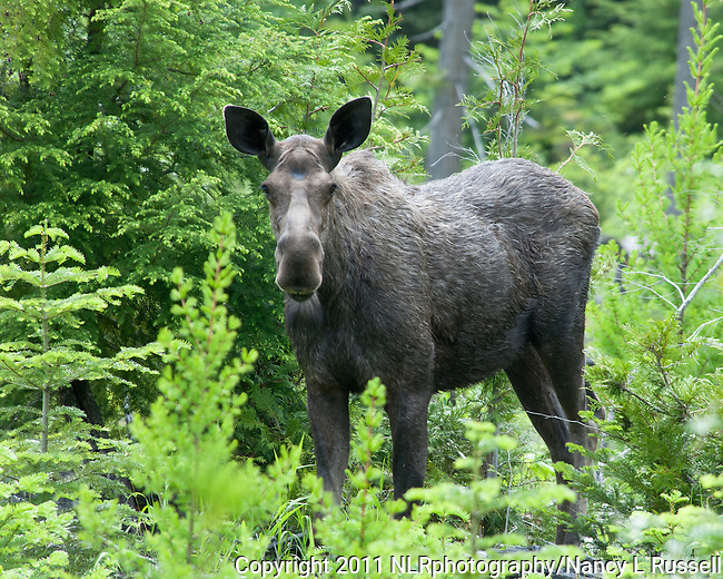 Moose in the woods near Mission Mountain road in north Idaho