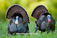 00845-07205 Eastern Wild Turkeys (Meleagris gallopavo) gobblers strutting in field, Holmes Co., MS