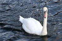 Bedford, UK - Swan on the River Great Ouse -  A selection of views of the county town of Bedford, England - 15th September 2012..Photo by Keith Mayhew