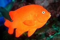 garibaldi damselfish (c), .Hypsypops rubicundus, .eastern Pacific Ocean.
