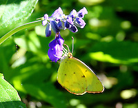 Little yellow suphur
