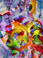 Beautyberry berries (Callicarpa) and fall colred maple leaves. Wilsonville, Oregon