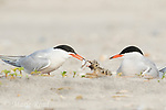 Common Tern (Sterna hirundo) pair at nest, one feeding a fish to chick, Nickerson Beach, Long Island, New York, USA