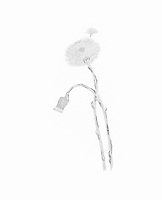 Klein hoefblad (Tussilago farfara)