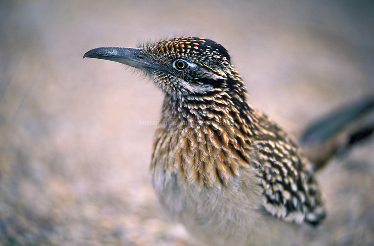 "The Greater Roadrunner (geococcyx californianus) or ""Californian Earth-cuckoo,"" also Chaparral Cock, Ground Cuckoo, and snake killer.  Native to Mexico and southwest US. Grows to 22 in. (56cm) and 10.5oz (300g). Largest North American cuckoo. Known to race down roads with moving vehicles, ergo the name."
