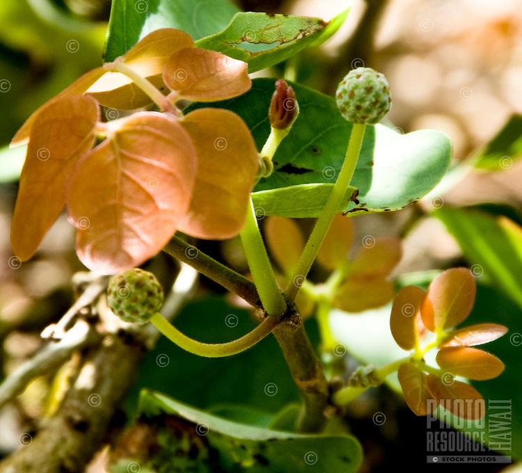 The extremely rare Kanaloa plant.