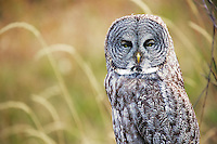 Great Grey Owl in the grass