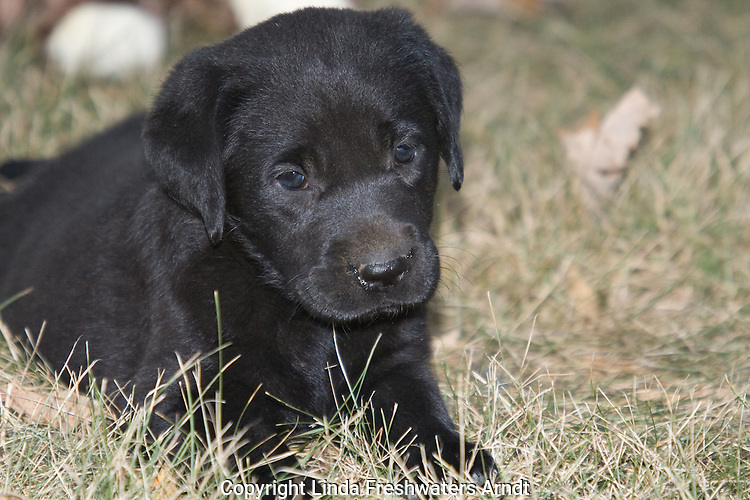 Black Labrador retriever puppy lying in the grass