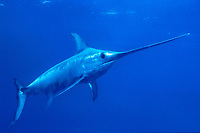 broadbill swordfish, Xiphias gladius, being caught as a bycatch in Tonnara, mazes of nets in traditional Mattanza fishtrap fishery, targeting spawning fish - the fishing method originates to Almadraba, an ancient Andlusian way of catching tuna, Italy, Mediterranean Sea, Atlantic Ocean