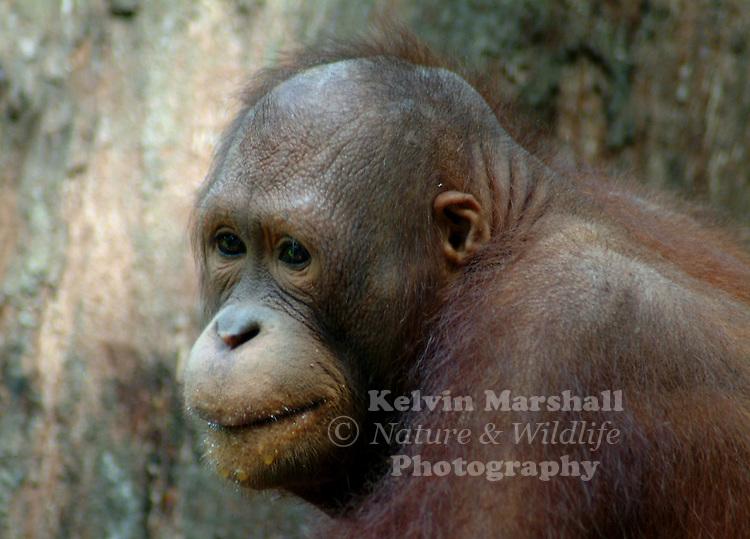 The Bornean Orangutan, Pongo pygmaeus, is a species of orangutan native to the island of Borneo. Together with the slightly smaller Sumatran Orangutan, it belongs to the only genus of great apes native to Asia.