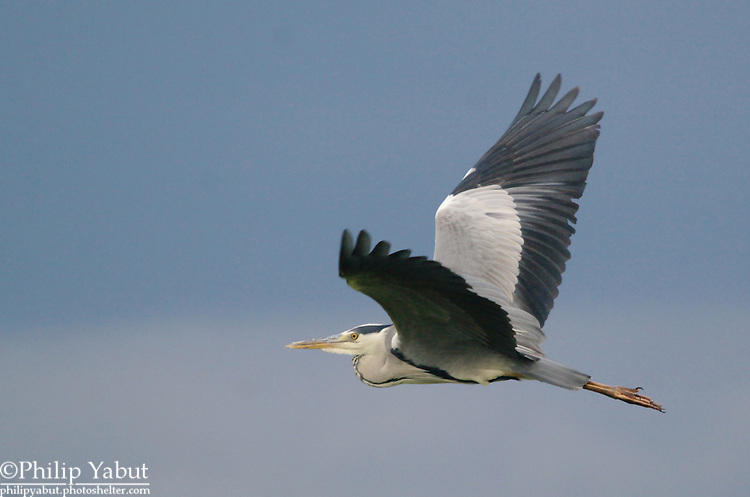 The gray (grey) heron (Ardea cinerea) looks a lot like its larger great blue cousin.<br />