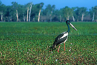 Jabiru Yellow Waters Kakadu National Park, Northern Territory, Australia