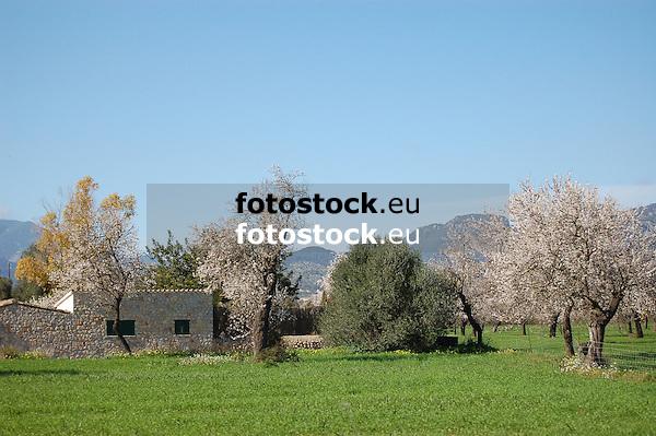 blooming almond trees<br /> <br /> almendros en flor<br /> <br /> bl&uuml;hende Mandelb&auml;ume<br /> <br /> 3008 x 2000 px<br /> 150 dpi: 50,94 x 33,87 cm<br /> 300 dpi: 25,47 x 16,93 cm