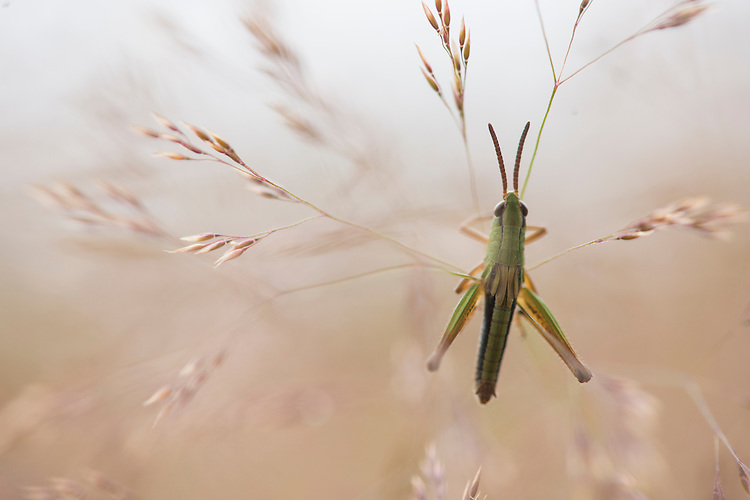 Grasshopper species in restored meadow. Wakehurst Place - Royal Botanic Gardens, Kew. Ardingly, West Sussex, UK.